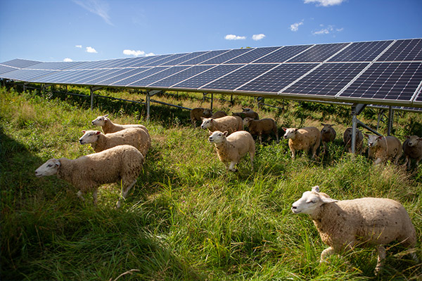 Sheep around solar panels